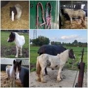 Verzorg- en of men pony Heino/Wijhe