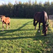 Gezocht betrouwbaar paard (voorkeur Groninger of Gelders)