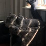 Brits korthaar kitten, poes, blauw
