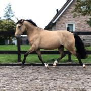 Valk pony