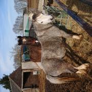 Twee welsh ponies