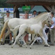 1e premie Valk bont merrieveulen (1.55 welsh x arabier)