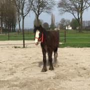 Drum horse merrie veulen