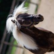 Verzorgster gezocht voor superleuk minipaard!