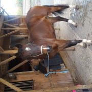 Beeldschone D pony Ochard Boginov x Vita Nova's golden Boris