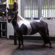 NMPRS mini pony's - valkbont en appaloosa
