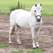 B- pony.