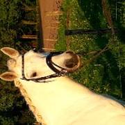 Lieve recreatie d pony te koop / Connemara/