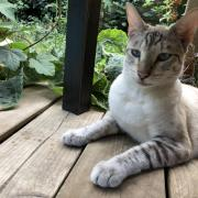 Gecastreerde Savannah kater zoekt nieuw thuis.