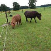 Twee lieve shetlandmerries