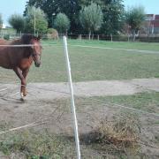 2,5 jarige donkere vos  D pony