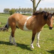 Ondeugende pony zoekt verzorger met gevoel voor humor