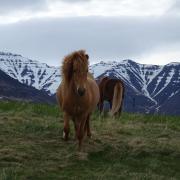 Hulp gezocht met trainen van paarden in IJsland in augustus!
