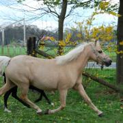 Prachtige, lieve en fijne Welsh a pony