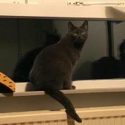 prachtige blauwe kat Gaya zoekt thuis