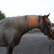 Betrouwbare d pony te koop