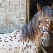 Zeer mooie stamboek appaloosa B pony. 1ste premie behaald