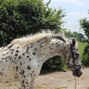 Opvallende d-pony te koop