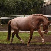 Onwijs gave (sport)pony