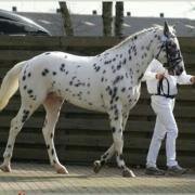 GEZOCHT jong spring/eventing paard (bijzondere uitstraling)