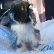 Franse hangoor konijnen (jonkies) te koop