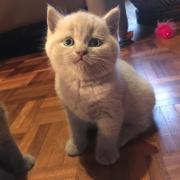 Brits korthaar kitten, kater, lilac.
