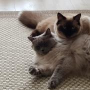 2 lieve ragdoll dames beschikbaar voor liefdevol huis