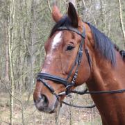 Lief, groot paard aangeboden in bruikleen