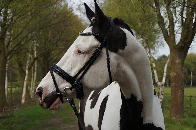 Bont Paard Spierwit Krijgen Bokt Nl