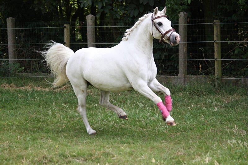 geslacht paard