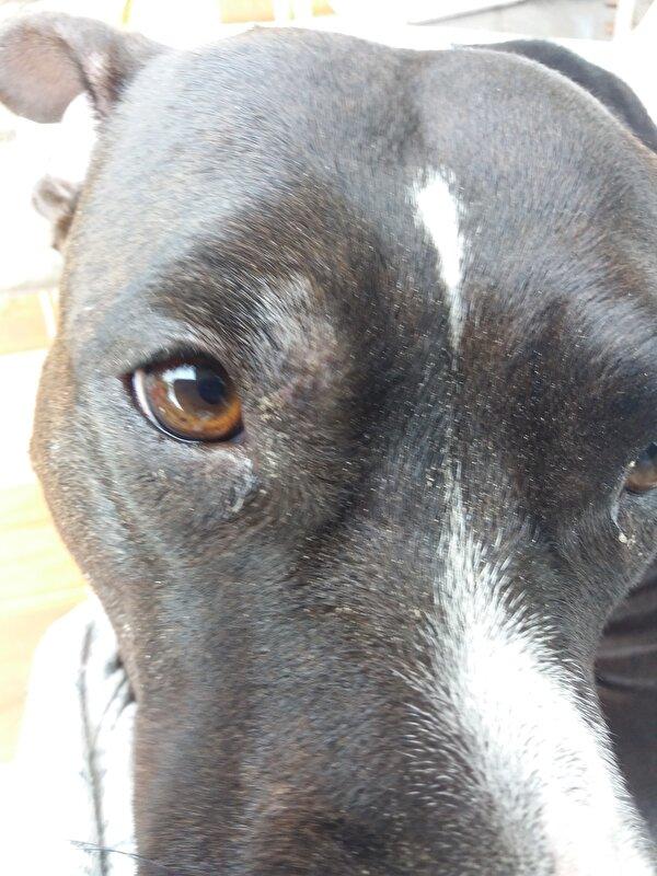 hond heeft bult boven haar oog  u2022 bokt nl