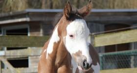Prachtig Paint horse hengstje Brightly geboren 21 maart