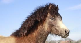 Cuteness overload: Welsh veulen Poppy!