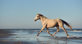 Rocky Mountain Horse Sia Free on the beach