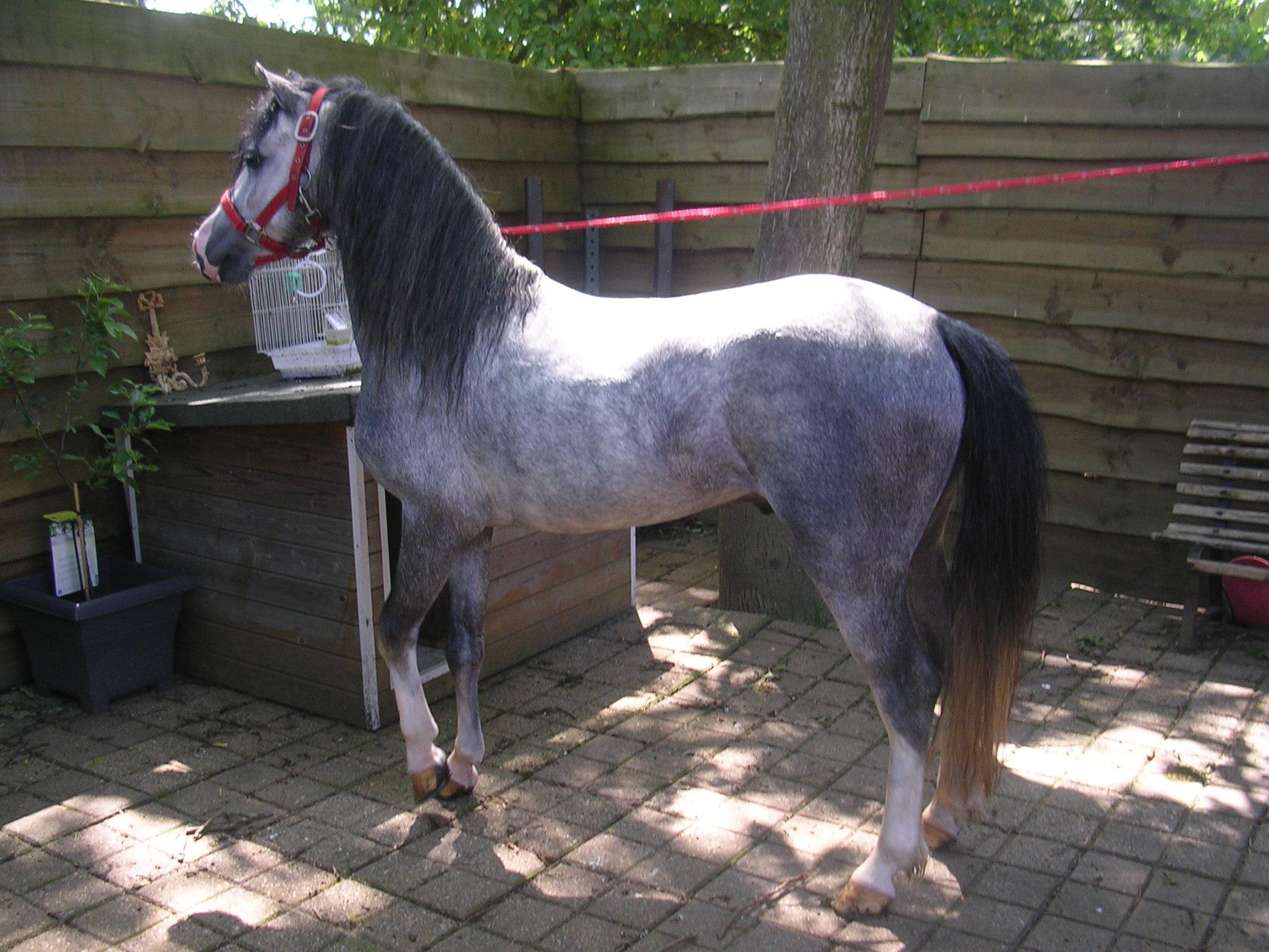 Te koop zeer mooie welsh pony for Mooie spiegels te koop