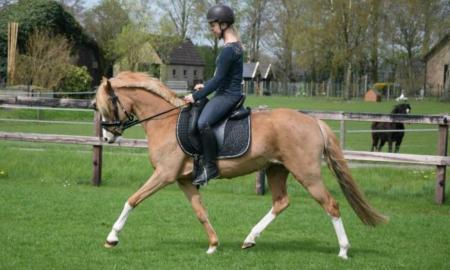 Goede Welsh D pony te koop | Bokt.nl KS-63