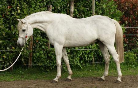 gemiddelde leeftijd paard wiki