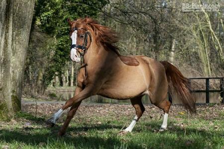 Betere Leuke welsh pony te koop | Bokt.nl YP-96
