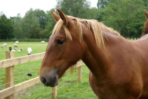 Suffolk Punch hoofdfoto.jpg