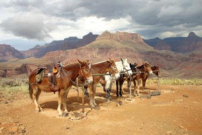 Mules 01.jpg