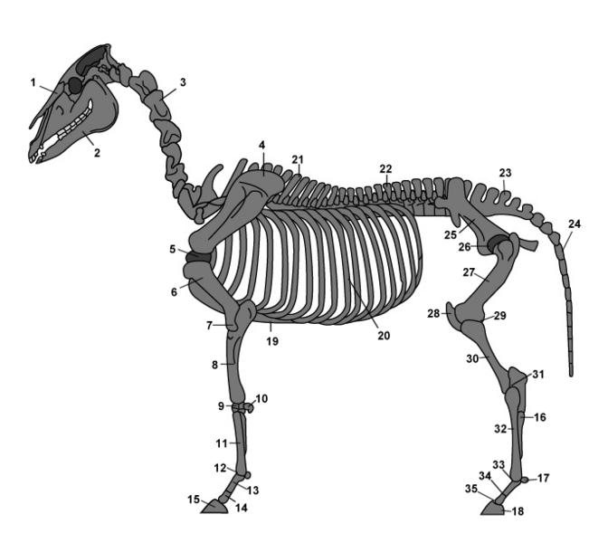 anatomie ruggengraat