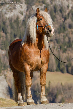 Noriker Paarden Encyclopedie